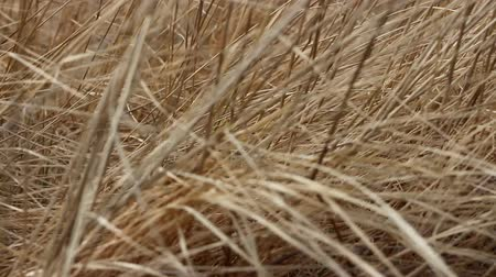 alegorie : Dry last years grass shivering in wind. Symbol of abandoned old people