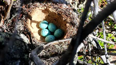 salya : Nest of song thrush is made from clay and pale blue eggs