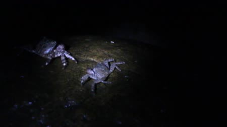 cancer pagurus : Many marble crabs running around on coastal rocks in beam of flashlight, Night filming