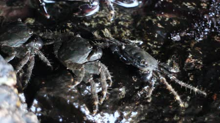 climbed : Crabs climbed on rocky shore and stood on waters edge. Night filming