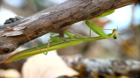 hater : Predatory insect mantis (Mantis religiosa) cleans his terrible weapon