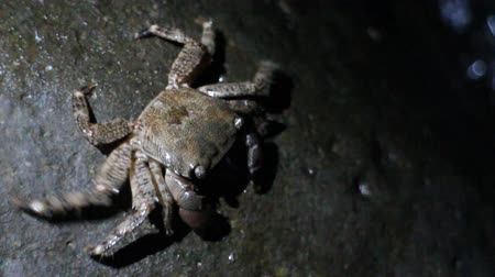 cancer pagurus : Crabs climbed on rocky shore and stood on waters edge. Night filming