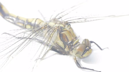 biophysics : Large dead dragonfly on white background. It is well visible venation of wings. The wind. Isolated video Stock Footage