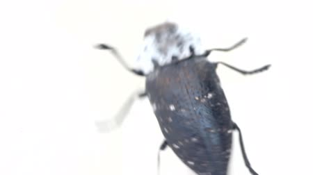 carrion : Deathwatch beetle. Large carrion beetle crawling on white background