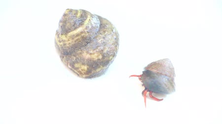 kullancs : Two hermit crabs in houses. Smaller retreats, Isolated video Stock mozgókép