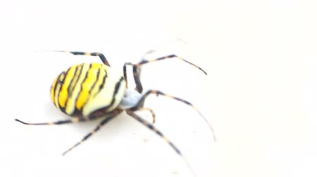 önemseme : Poisonous animals. Beautiful striped (Argiope bruennichi) spider.  Shooting on white background