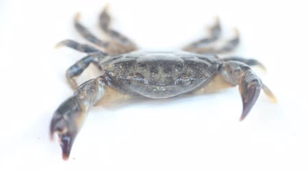 cancer pagurus : Portrait of crab on white background. Crab raises and lowers the claw