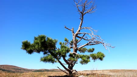 aridez : Lonely old half dry pine on tableland, Dry mountain meadows and mountain steppes. Aridity