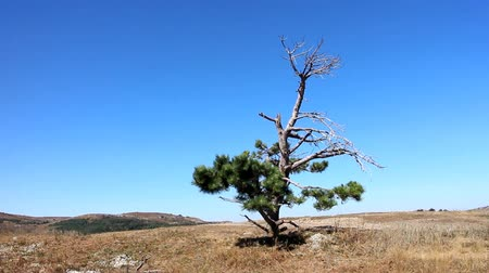 aridez : Lonely old half dry pine on tableland. Aridity. Hitting camera at subject Stock Footage