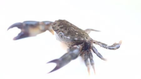 cancer pagurus : Crab with vertically raised (aggressiveness) claws and blowing bubbles. Filming on white background