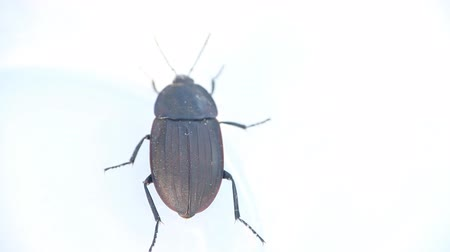 carrion : Round black beetle on white background. The plan