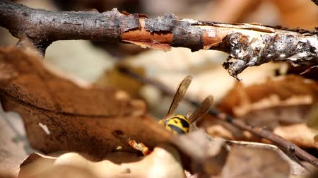 assombro : In fall wasps become carnivorous. Wasp eats victim