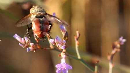 biophysics : Vertical takeoff. Fly feeds on flowers and then flying away. The plan Stock Footage
