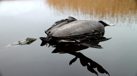 six worlds : Next reincarnation. Dead black bird with strange feet swinging in water. Object lens is increased Stock Footage