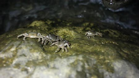 climbed : Marble crabs climbed to edge of sea and communicate. Shooting at swinging in rhythm of wave boats Stock Footage