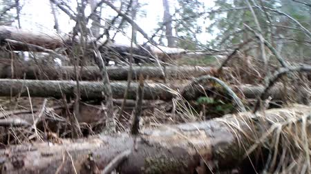 untamed : Walking in primeval forest 1. Through debris created by storm (windfallen trees) 1. Camera shoots under feet