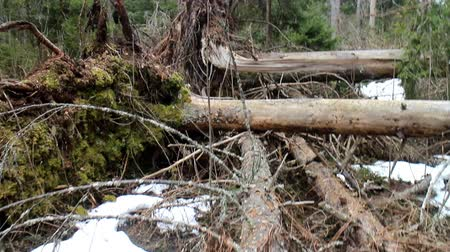 tricky : Walking in primeval forest 3. Through debris created by storm (windfallen trees) 1. Camera shoots under feet