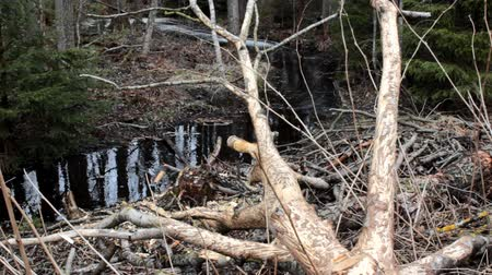 foraging behavior : Foraging behavior of animals 1. Forest stream and  traces of vital activities. Beaver felled aspen and bark nibbled by beavers and moose (elks) whole. Beavers gnawed branches for dams