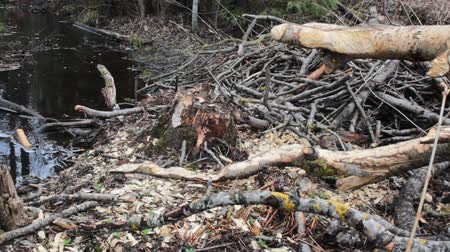 foraging behavior : Foraging behavior of animals 2. Forest stream and  traces of vital activities. Beaver felled aspen and bark nibbled by beavers and moose (elks) whole. Beavers gnawed branches for dams
