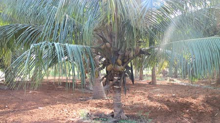 areca : Middle age plantation of coconut palms Cocos nucifera in India. Palm leaves is filled with light. Mature fruits Stock Footage