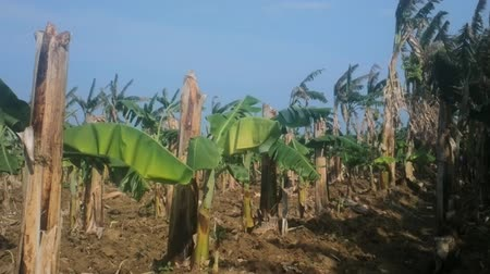 perennials : Old banana plantation. Old hollow broken stems (backup) and from rhizomes have grown new leaf Stock Footage
