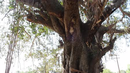 banyan : Large ficus. Sacred Banyan tree in India (animism), however, not well maintained Stock Footage