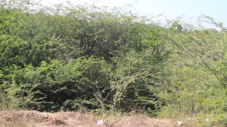 aridez : Asian Bush from window of fast speeding car. Acacia and other thorny plants