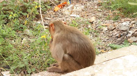 foraging behavior : Indian macaque feeds on pods of bean plants 2. Kerala