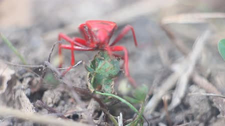 firebug : Unusual insects. Red bug finds its way pedipalpi and touches proboscis