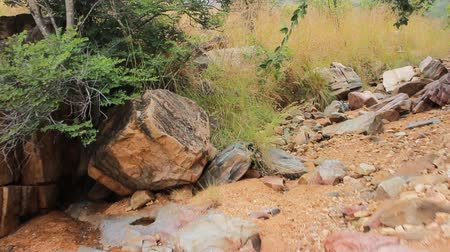 subtropics : Dry, hilly bush of Deccan plateau (India). Walk on dry bed of mountain stream among flowering shrub yellow Acacias Stock Footage