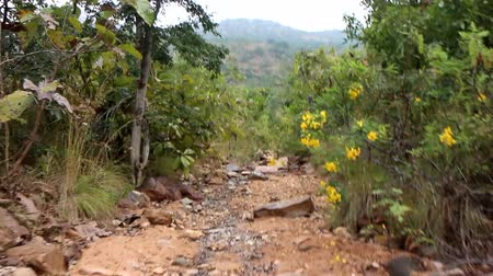 subtropics : Dry hills of Deccan plateau (India). Walk on dry bed of mountain stream among flowering shrub yellow Acacia (Pea shrub, Caragana)