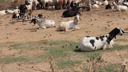 livestock sector : Dry, hilly Prairie of the Deccan plateau (India). Flock of sheep resting in winter sun Stock Footage