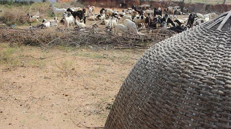 livestock sector : Hilly Prairie (mountain steppe) of Deccan plateau (India). Flock of sheep in corral. Braided housing - protection for shepherds Stock Footage