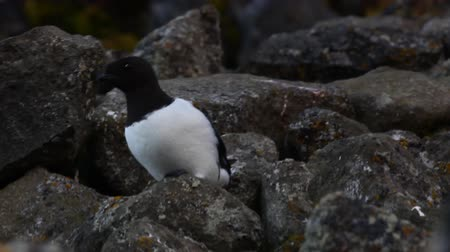 little auk : One of the most Northern birds - Little Auk (Alle alle). Very sweet funny little bird that lives in icy stormy ocean all year round Stock Footage