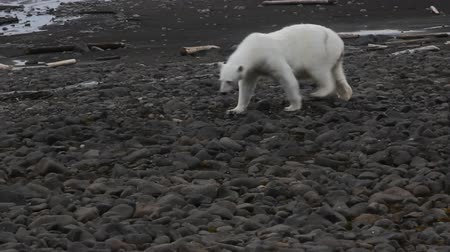 polar circle : Polar bear on Franz-Josef Land.  Female at age of three or four years old, a little fat only Stock Footage