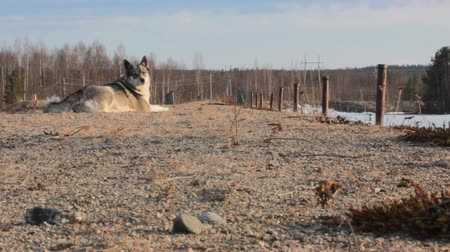 foraging behavior : The East Siberian Laika (related breed husky). female lies picturesquely at the dam, spring Stock Footage