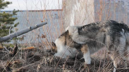 foraging behavior : The East Siberian Laika (hunting dog related breed husky) - female is actively tearing holes and catches voles (catch mice)