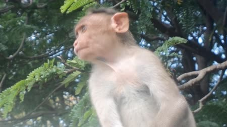 oluyor : Very funny video. Spinning macaque funnily scratching head. Huge ridiculous ears like radars Stok Video