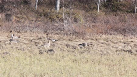 bean goose : Forest-breeding Bean Geese (Anser fabalis fabalis) feed sprouted sedge in spring swamp. Stock Footage