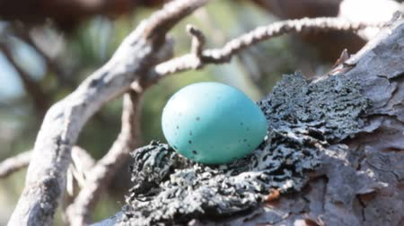 salya : Eggs of different species of birds. Guide. Blue with subtle speckles of Song thrush (mavis, throstle, Turdus philomelos) egg, on leafy lichen