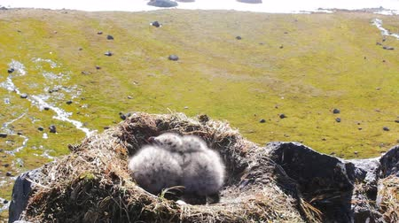 bird list : nests of birds. View from rocky gull nests - Burgomaster ( Glaucous gull, Larus hyperboreus). In nest two fluffy Chicks, in wind. Panorama seaside of Arctic ocean with streams and emerald mosses