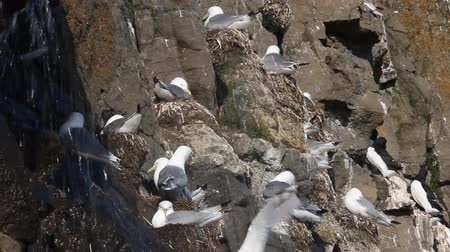 field measurements : Rookery on cliffs of Franz-Josef Land, island NORTHBROOK (Kittiwakes), small waterfall, voices of birds Stock Footage