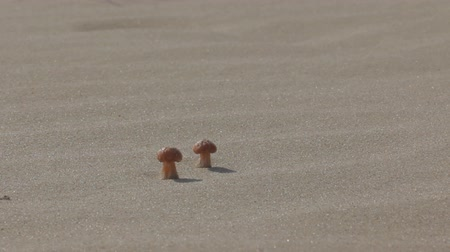 dene : Unusual banality. Cute little mushrooms on marine dune among solid sand. Dune on site of former forest