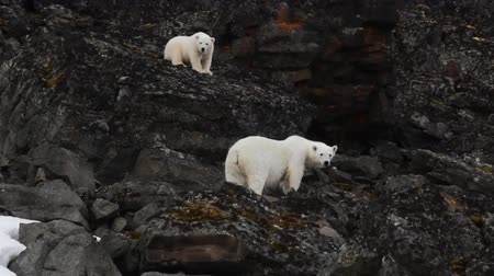 climbed : Polar Bear with funny cub came to Northbrook island and climbed up on rock. Franz-Jozeph Land