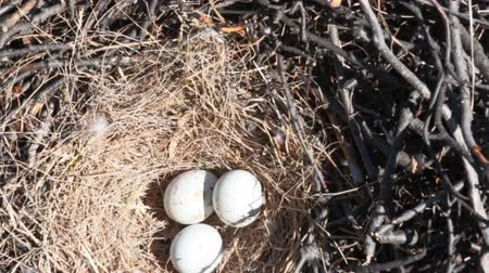 diurnal : nest of a bird of prey. Massive rough-legged Buzzard nest with three eggs on the ledge of the cliff. Lapland
