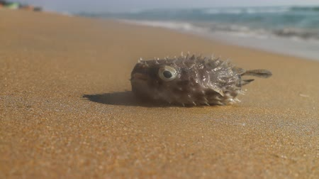 fatality : Wonderful beaches on coast of Arabian sea (Goa and Kerala) where you can collect crabs, fish and seashells. Fish - triggerfish