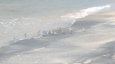synanthropic animals : Wader Sanderling (Crocethia alba) is inhabitant of tundra, but during migration it lives on sandy beaches and feeding in surf interstitial fauna Stock Footage