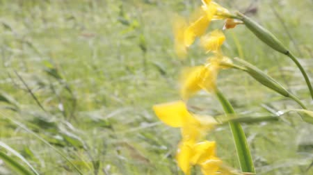 öv : Summer breeze. Grass in Lakeland meadow in strong wind. Blooming fleur-de-lis, flower petals tremble