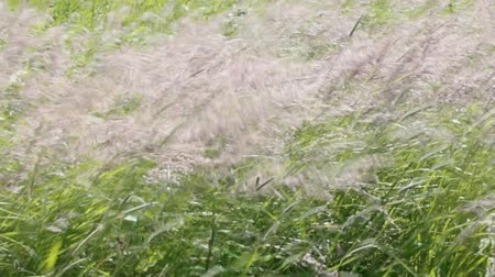chalky : wind ruffled silvery grass like mane of horse (encolure) - enjoying mid-summer