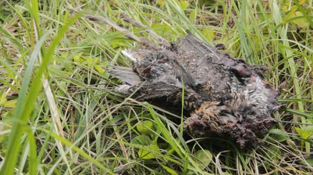 fatality : Natural death and corpse in nature. Dead bird (probably greenshank) in grass. �orpses are quickly eaten by animals, scavengers and insects